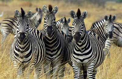 Black and White : Approach Zebras with Caution