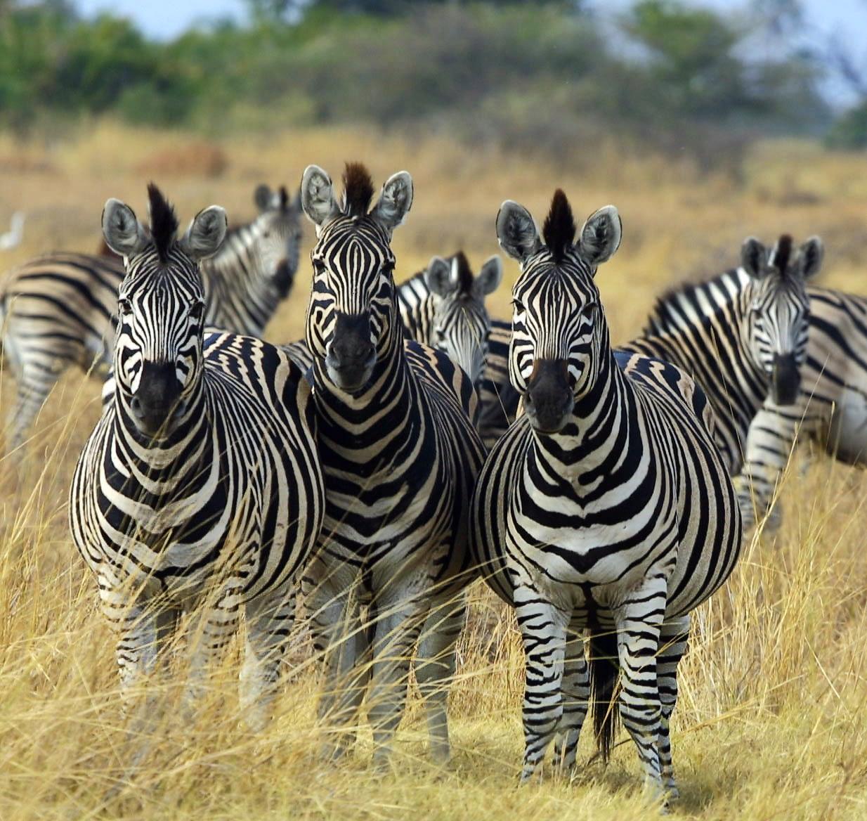 Black and White Zebras